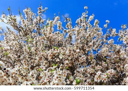 Almond Tree Big White Flowers Under Stock Photo Edit Now 599711354