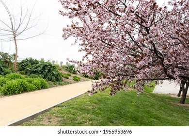 Almond tree in bloom by the side of a path, Parque Juan Carlos I in Madrid (Spain)