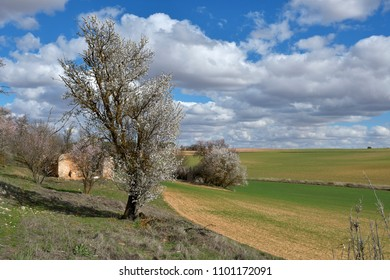 Almond tree in bloom and cloud landscape