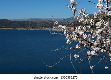 Almond tree in bloom with lake and mountains in spring