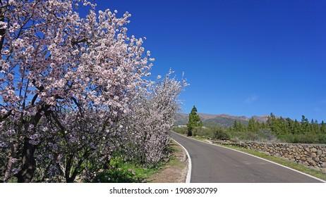 Almond tree in bloom near the mountain road in Tenerife, Canary Islands, Spain. Spring landscape.                               - Shutterstock ID 1908930799