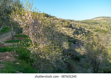 Almond tree blooming with beautiful flowers in February around ruins of ancient farm in the nature reserve Sataf near Jerusalem, Israel