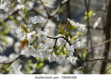 Almond tree in blossom beautiful