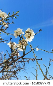 Almond tree blossom with beautiful blue sky on the background