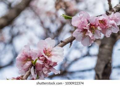 Almond tree blossom in the middle of the winter on Costa Blanca, Spain