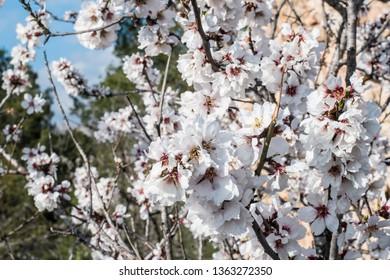 Almond tree blossom on Costa Blanca, Alicante, Spain