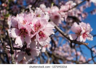Almond tree blossom in pink, Costa Blanca, Spain