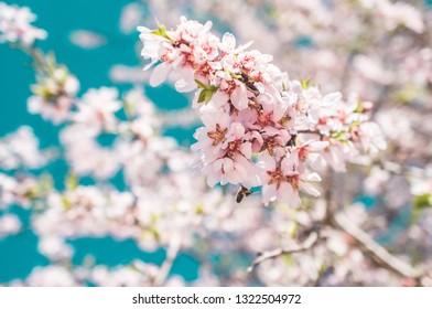 Almond tree and blue sky