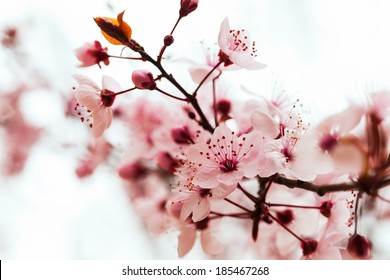 almond tree  branch in spring