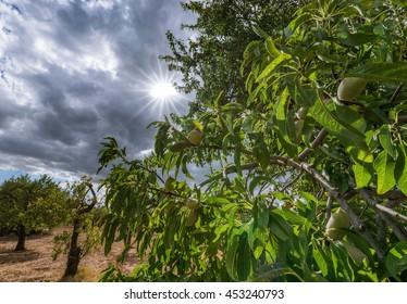 Almond tree, with dramatic sky and sun