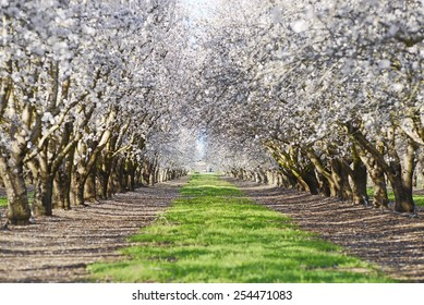 an almond tree farm with spring blooming near sacramento