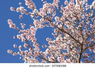almond tree flowering