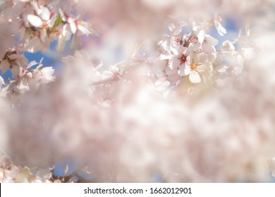 Almond tree flowers with blue sky and spring.