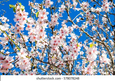Almond tree  in full bloom against blue sky in the spring. Beautiful flower background