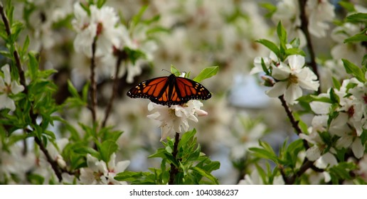 Almond tree in full splendor and colorful monarch butterfly on its flowers