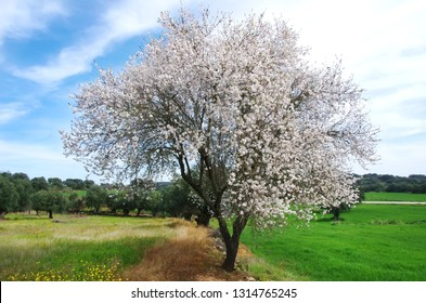 almond tree in green field at Portugal