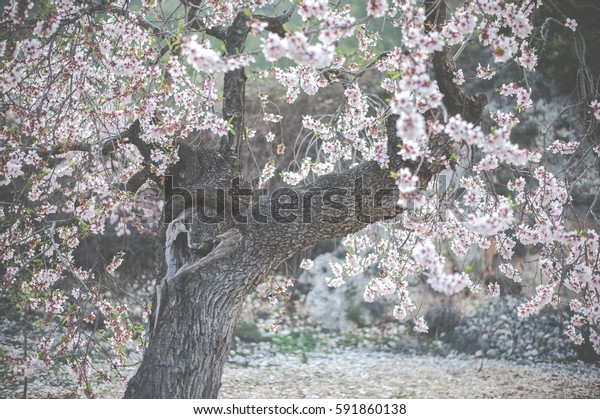 Almond tree with a heart form in the wood