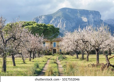 Almond tree landscape