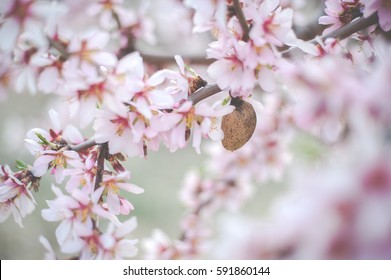 Almond tree pink flowers
