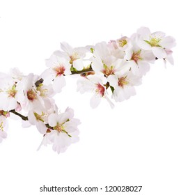 The almond tree pink flowers with branch isolated on white background.