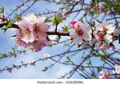 almond tree pink flowers with branch  on blue sky background
