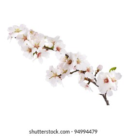 The almond tree pink flowers with branch isolated on white