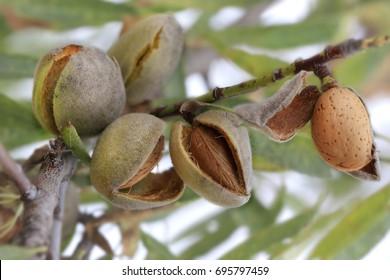 Almond at the tree (Prunus dulcis), series 15