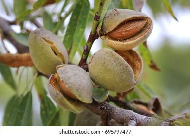 Almond at the tree (Prunus dulcis), series 14