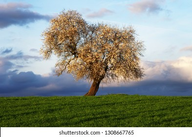 almond tree in south of Portugal