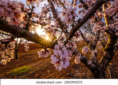 Almond trees in bloom, sunset.