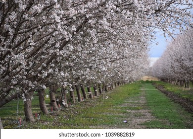 Almond trees blooming during early during spring season in Bakersfield, CA. Scenic views along highway 99 in Kern County.