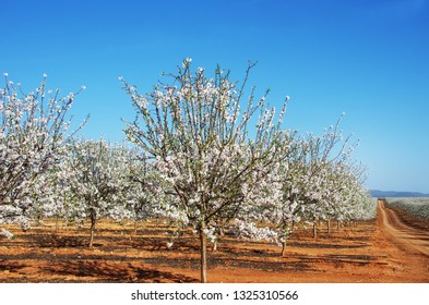 Almond trees blooming in orchard against blue sky