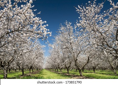 almond blossom images stock photos vectors shutterstock