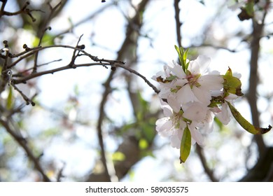 almond trees blossom in full bloom
