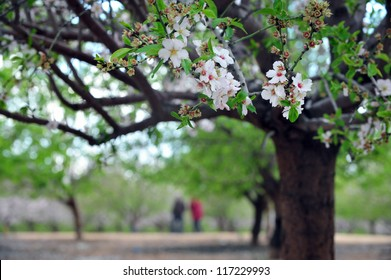 Almond trees blossom in Israel during the spring season.