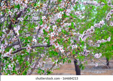 Almond trees blossom in Israel during the Tu Bishvat Jewish holiday.