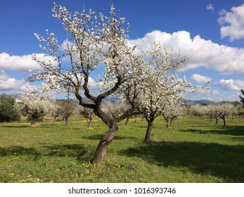 Almond trees in blossom, Mallorca