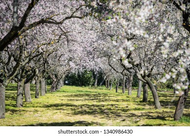 Almond trees blossoming in early Spring in a public park in Madrid on a sunny day. Shallow DOF.