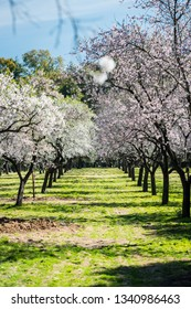Almond trees blossoming in early Spring in a public park in Madrid on a sunny day. Shallow DOF, focus on background.