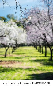 Almond trees blossoming in early Spring in a public park in Madrid on a sunny day. Shallow DOF, focus on the flowers in the foreground.