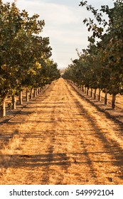 Almond Trees in California