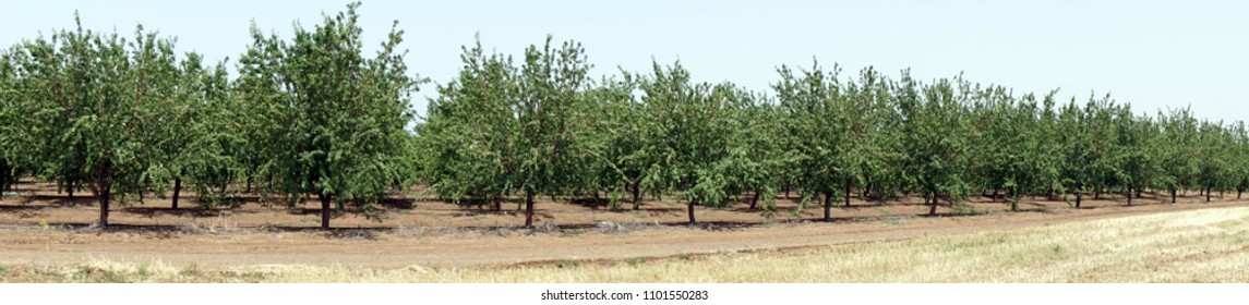 Almond trees in the orchard