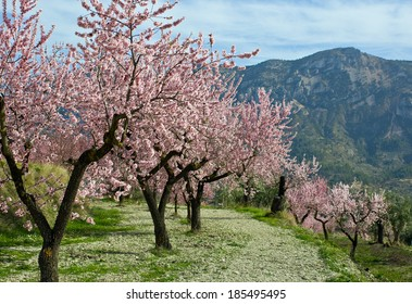 almond trees - Almond orchard in blossom, Alicante, Spain, flowering almond trees on a sunny day, blue sky and white clouds