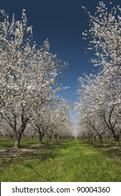 Almond trees in Spring bloom, San Joaquin Valley, California.