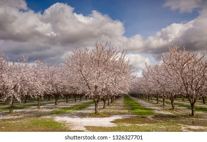 Almond trees with white pink blossoms in an orchard under a sunny sky with white clouds and blue sky with blossoms on the ground in foreground.
