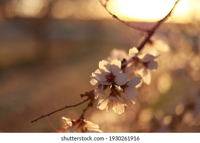 Almonds branch blossoming in sunset timing from Fresno, California. Portrait almonds blossoming welcome Spring season.