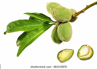 ALMONDS. Fruits and leaves on a branch. Fresh green one-piece almond open. Growing and harvesting. Isolated on a white background