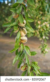 Almonds on a tree ready for harvest