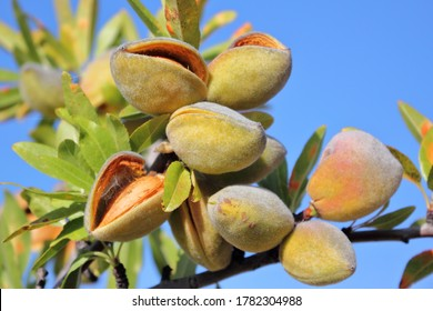 Almonds on the tree ripening for the next harvest