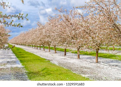 Almonds orchard in Lodi, California at the beginning of March 2019 a week after blooming, leaves start to grow.